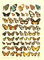 Macrolepidoptera15seit 0281.jpg