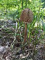 Macrolepiota procera 88226446.jpg