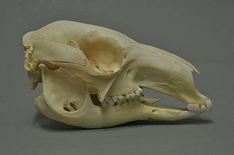 Red kangaroo - The skull at the Museum Wiesbaden, Hessen