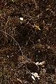 Madia elegans 4894.JPG