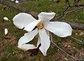Magnolia 2015-04-16 120.jpg