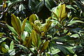 Magnolia grandiflora au Plateau des poètes007.JPG