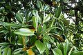 Magnolia grandiflora kz4.jpg