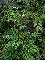 Mahonia fortunei - Flickr - peganum.jpg