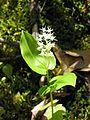 Maianthemum canadense 2-eheep (5097328853).jpg
