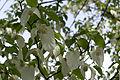 Mainau - Arboretum - Taschentuchbaum 002.jpg