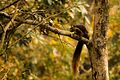 Malabar Giant Squirrel GanesgGudi(Dandeli).jpg