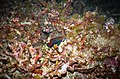 Malapascua Mandarin Fish (Synchiropus splendidus).jpg
