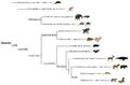 Mammalia phylogeny (ita).png