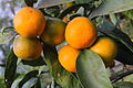 Mandarins in my Garden Sochi.JPG