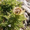 Mangart Cirsium spinosissimum.jpg