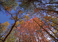 Maples (4002384599).jpg
