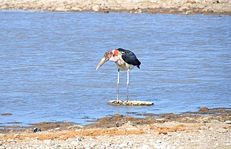 Stork - Marabou stork at Etosha National Park in Namibia