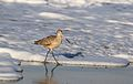 Marbled godwit, Limosa fedoa, Moss Landing (Elkhorn Slough and beach), California, USA. (30639712050).jpg