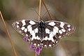 Marbled white butterfly (Melanargia galathea) Italy.jpg