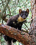 European Pine Marten - Photo (c) Green Yoshi, some rights reserved (CC BY-SA)