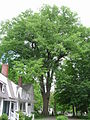 Massachusetts American Elm 1 - May 2012.jpg