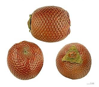 Mauritia flexuosa - Fruits.