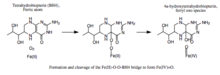 Formation and cleavage of a Fe(II)-O-O-BH4 bridge..