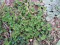 Medicago arabica plant4 (14694914642).jpg