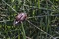 Meikever - June bug (Melolontha melolontha) (19107516305).jpg