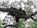 Meleagris gallopavo (28885872818).jpg