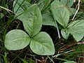 Menyanthes trifoliata20130727 063.jpg