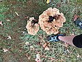 Meripilus giganteus 65032061.jpg