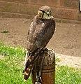 Merlin. Falco columbarius (48451683956).jpg