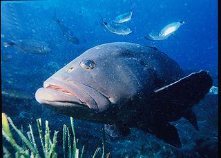 <i>Epinephelus marginatus</i> species of fish