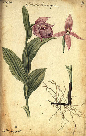 Daniel Gottlieb Messerschmidt - Cypripedium macranthon, described by Messerschmidt