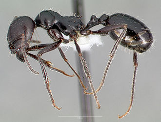 Messor pergandei - M. pergandei worker from the United States