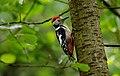 Middle-spotted woodpecker (Dendrocopus medius), Parc du Rouge-Cloître, Brussels (26666344754).jpg