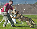 Military working dog training exercises 130410-N-WF272-267.jpg