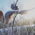 Milkweed at sunrise.jpg