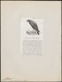 Milvago albogularis - 1872 - Print - Iconographia Zoologica - Special Collections University of Amsterdam - UBA01 IZ18200019.tif
