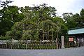 Mishima-taisha kinmokusei.JPG