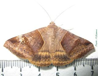 <i>Mocis mayeri</i> Species of moth