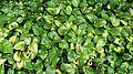 Money plant (Epipremnum aureum).jpg