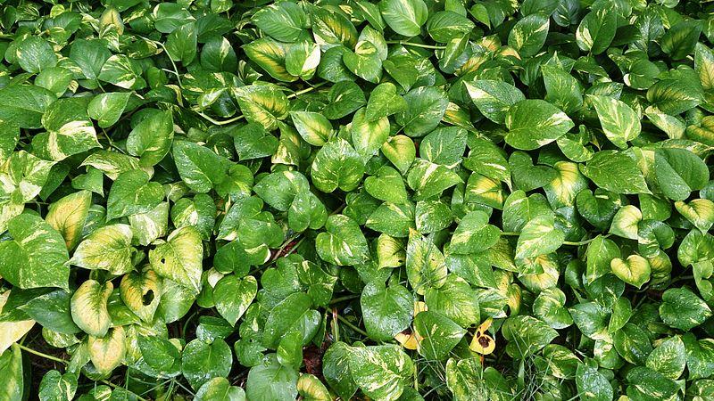 Ivy S Plant On Miagani Island