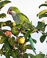 Monk Parakeet (Myiopsitta monachus) -Argentina-8.jpg