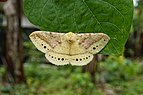 Monkey Moth(Eupterote sp) 9847.jpg