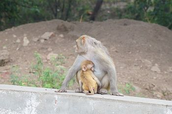 Monkey mother and her child.jpg