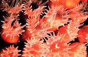 Close-up of Montastrea cavernosa polyps. Tentacles are clearly visible.
