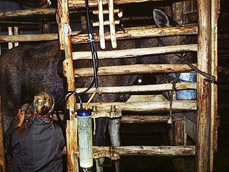 Moose milk - Collecting moose milk at Kostroma Moose Farm in Russia