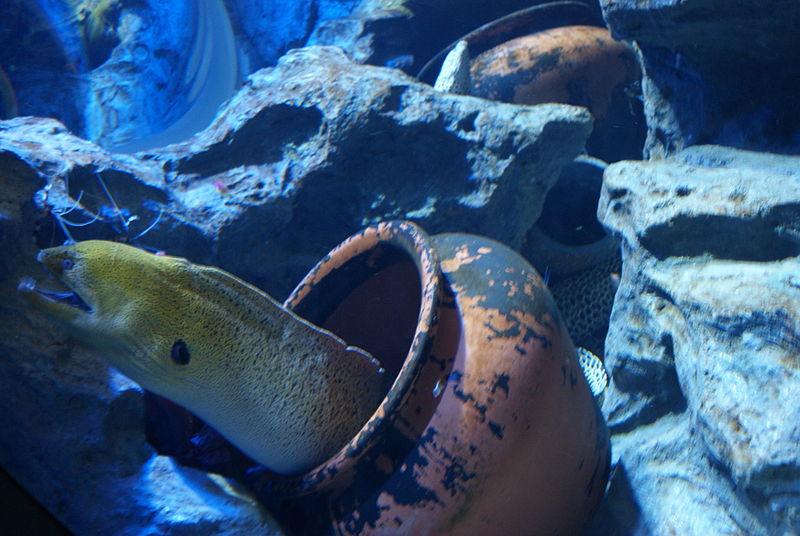 File:Moray eel, S.E.A. Aquarium, Marine Life Park, Resorts World Sentosa, Singapore - 20130105.jpg