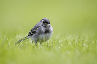 White wagtail - Juvenile M. a. alba in northern Norway, showing the grey face and chest