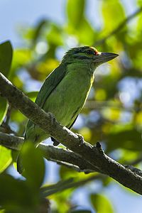 Moustached Barbet - Thailand S4E5744 (16222727037).jpg
