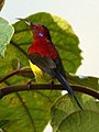 Mrs. Gould's Sunbird Aethopyga gouldiae Male by Dr. Raju Kasambe DSC 1567 (11).jpg