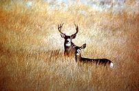 Male and female Mule deer